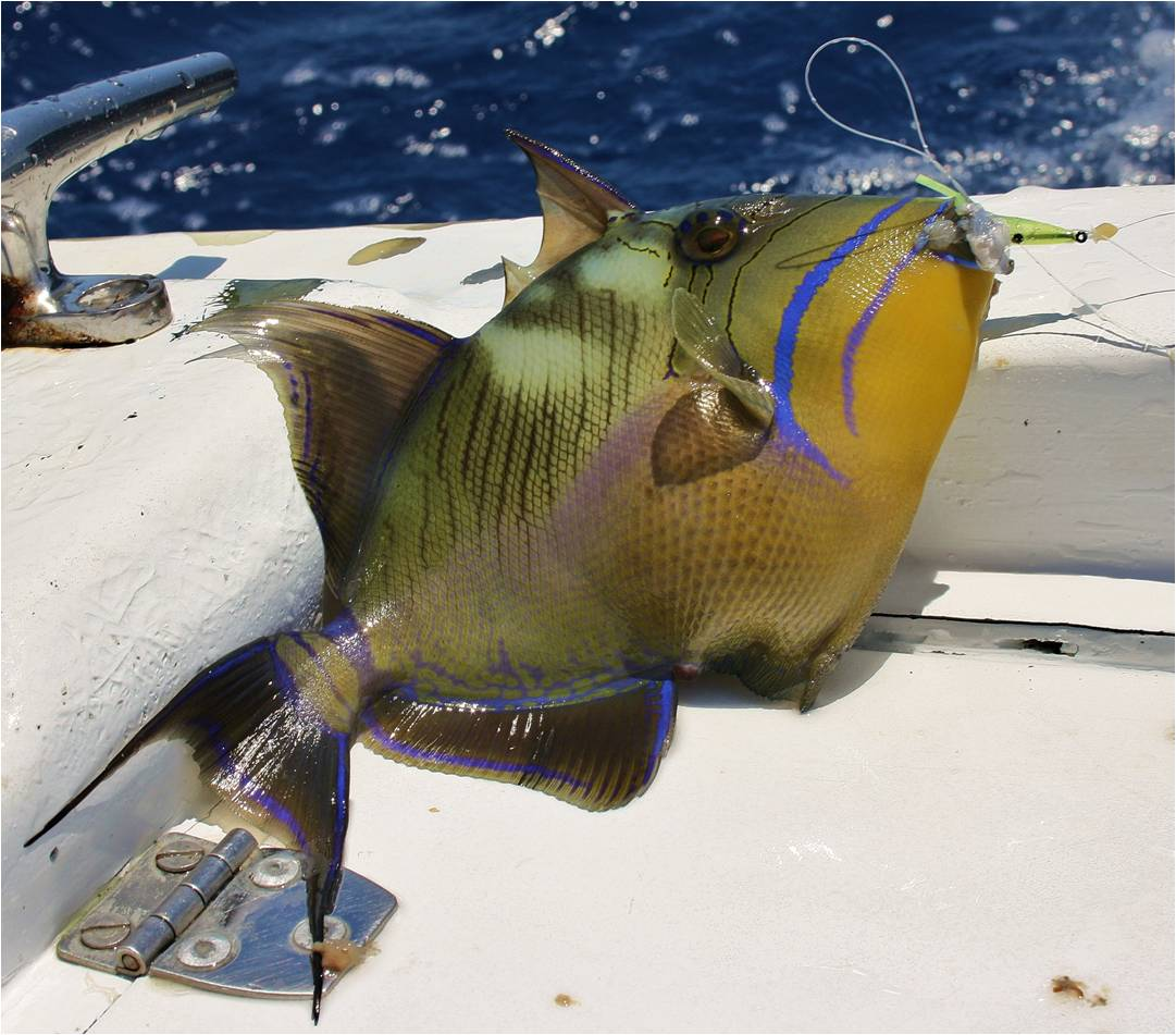 Queen Triggerfish Teeth Quality Trigger...